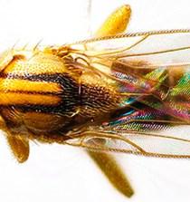 PANAMÁ. Nueva especie de mosca parásita de hormigas que cultivan hongos 8