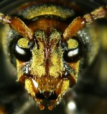 Xylotrechus chinensis (escarabajo-avispa)