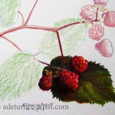 Blackberries in coloured pencil 2