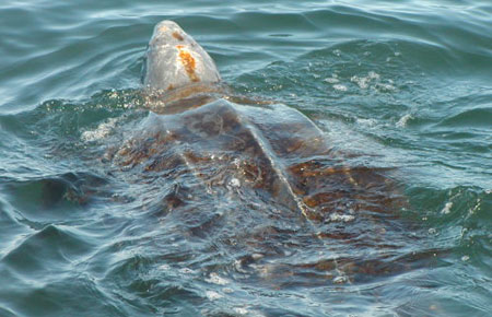 https://i2.wp.com/www.adfg.alaska.gov/static/species/speciesinfo/leatherbackseaturtle/images/leatherback_noaa_4.jpg