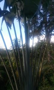 Arborele calator in Madagascar