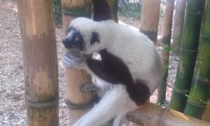 Lemurian 1 Madagascar