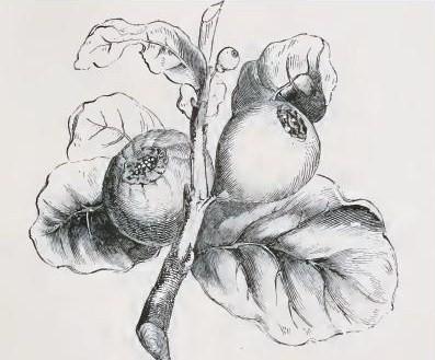 Il frutto del sicomoro