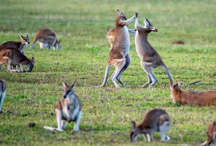 Wallaby - Kangaroo