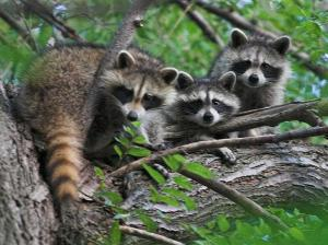 800px-Raccons_in_a_tree