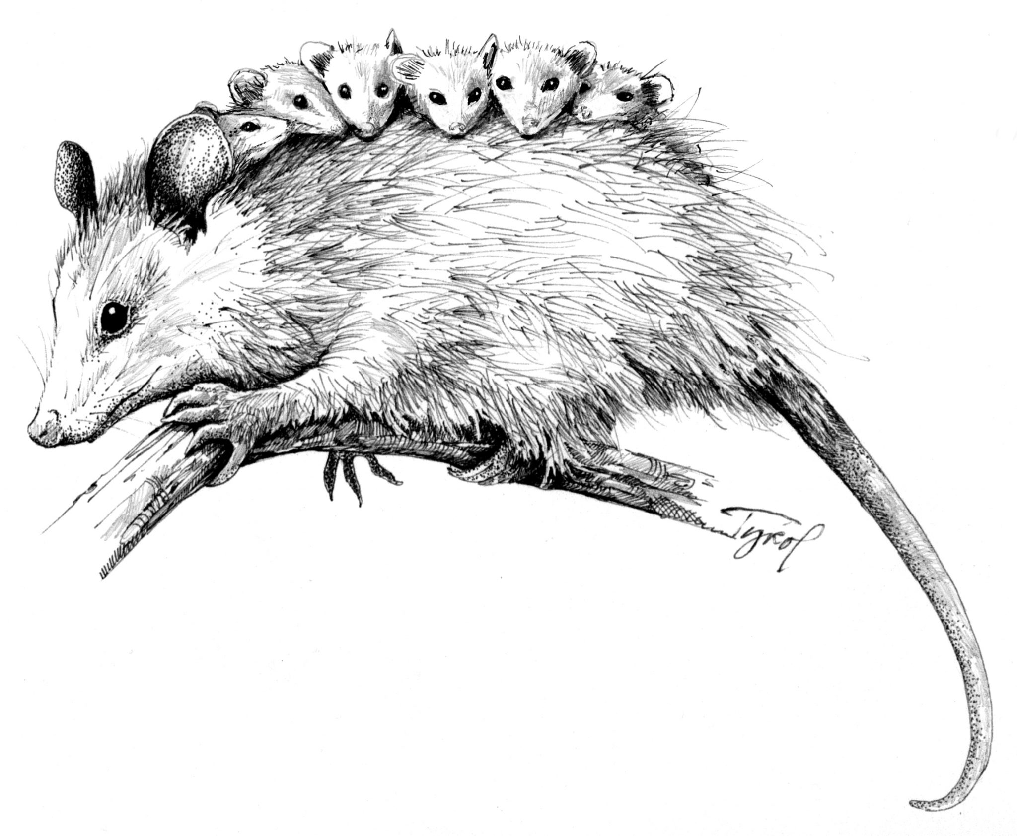 The Opossum Live Weird Young