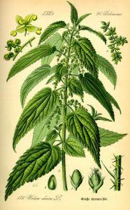 Urtica dioica from Thomé, Flora von Deutschland, Österreich und der Schweiz
