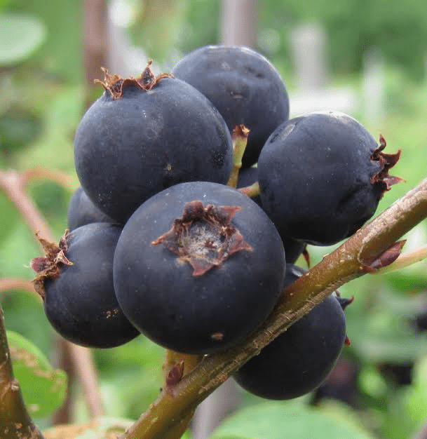 First Blooms: Juneberries - - The Adirondack Almanack