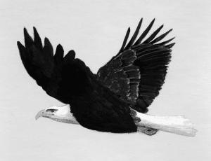 bald eagle the outsider