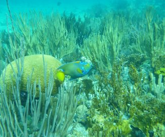 Queen Angelfish (Holacanthus ciliaris) near Yellow Brain Coral (O'Briens Cay)