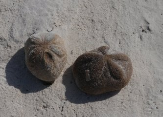 Inflated Sea Biscuits - also Echnoderms related to Sea Urchins