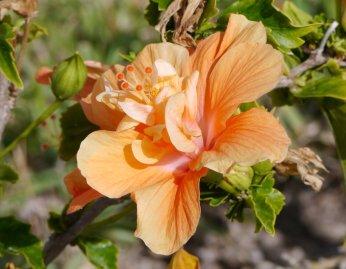 Double Hibiscus - Great Exuma