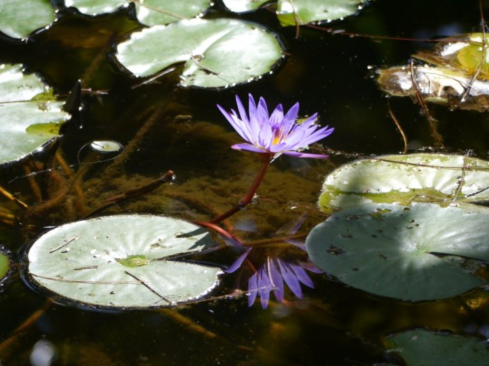 Purple Water Lily (Family Nymphaeaceae)Tar Bay - Great Exuma