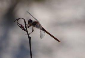 Red Dragonfly (Odanata - need Genus/Sp ID?) - Stocking Island Exuma