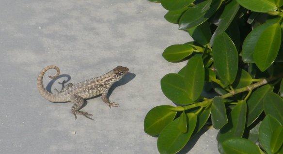Curly-tailed lizard (Leiocephalus sp) - Bimini