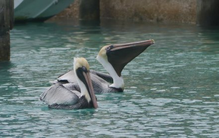 Brown pelican (Pelicanus occidentalis) common in Flrodia but not in the Bahamas - only found on Bimini