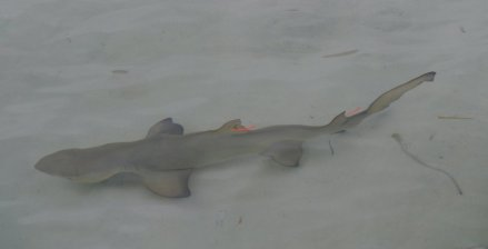 A baby Lemon Shark (Negaprion brevirostris) - this one is tagged by the Bimini Shark Lab (Bimini)