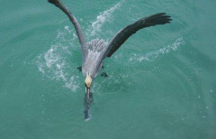 Brown pelican (Pelicanus occidentalis)- catching a fish morsel