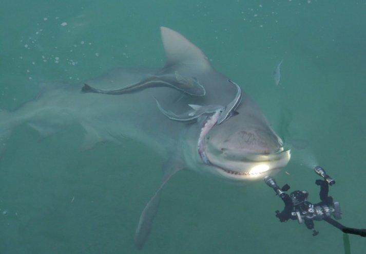 Bull Shark (Carcharhinus leucas) with Ramora - Bimini