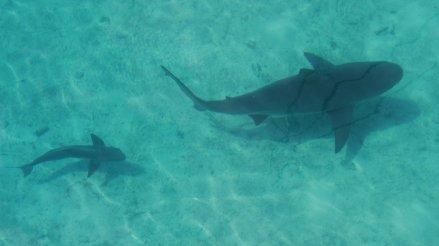 Bull shark and Cobia