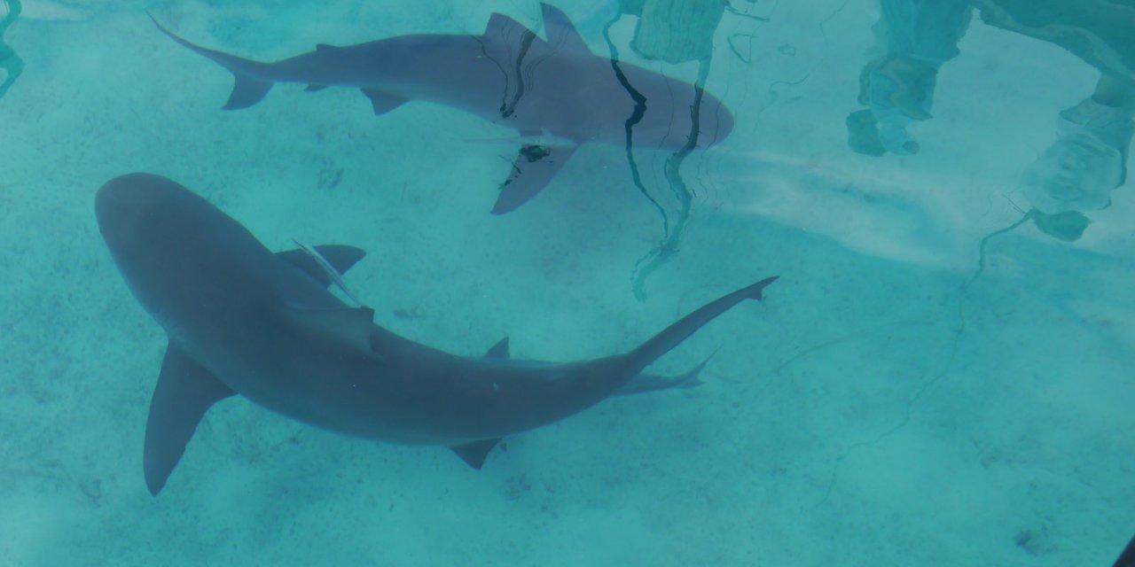Bull Sharks!