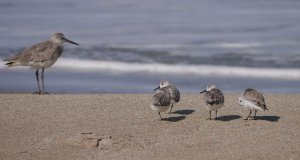 Mother sandpiper with chicks