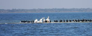 White peicans and black cormorants