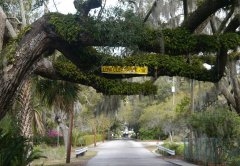 Live oak across road