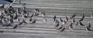 Our dock neighbours - plovers and sandpipers