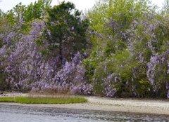 Wild wisteria on the banks