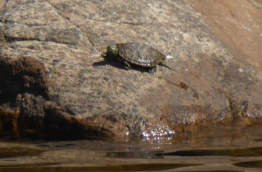 Turtle basking on nearby rock