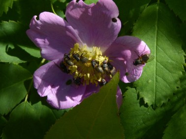 plenty of my old friend the wild bees on wild roses!
