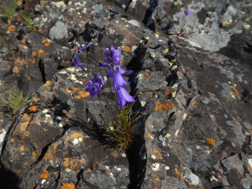 bluebells growing out of rocks