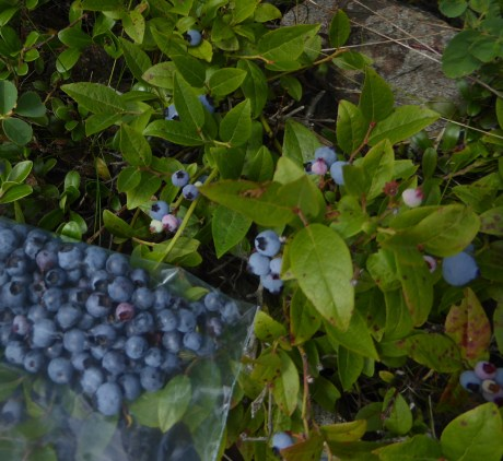 Blueberries at last! Aug 3