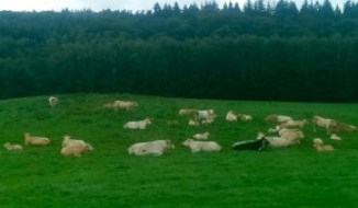Allesbehalve een hel: koeien die rustig liggen te herkauwen