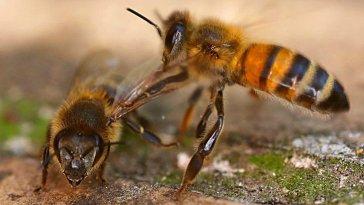 Hollanda'da bir grup bilim insanı, arıları eğiterek koronavirüs kokusunu tespit etmeyi öğretti. COVID-19'a karşı duyarlı arılar, saniyeler içinde virüslü örnekleri belirledi.