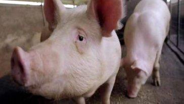 domuzlar ve kemirgenler,Sağlık ve yaşam,Bilgisayar bilim ve teknoloji , solunum yetmezliği,