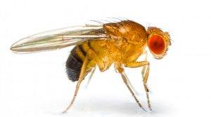 ذبابة دروسوفيلا Drosophila