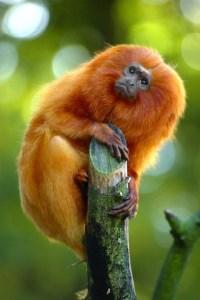 قرد التمارين الذهبي Golden Tamarin Monkey