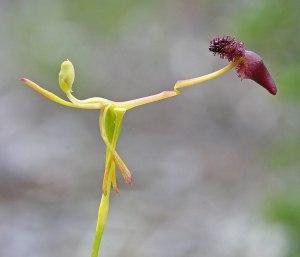 Orchid Hammer