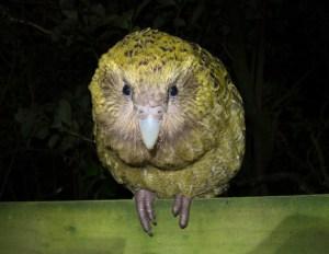 طائر الكاكابو Kakapo