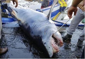 Zuppa di pinne e frodi, se la salvezza degli squali si gioca a tavola