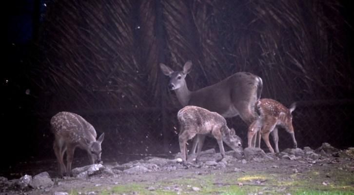 Nacen cuatro ciervos en el Zoológico de Chapultepec (21:00 h)