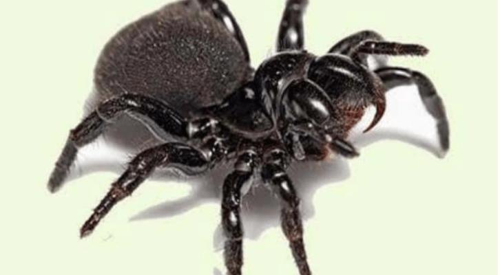 ¿Hermoso o aterrador? Captan momento en que nacen arañas venenosas: VIDEO (12:00 h)