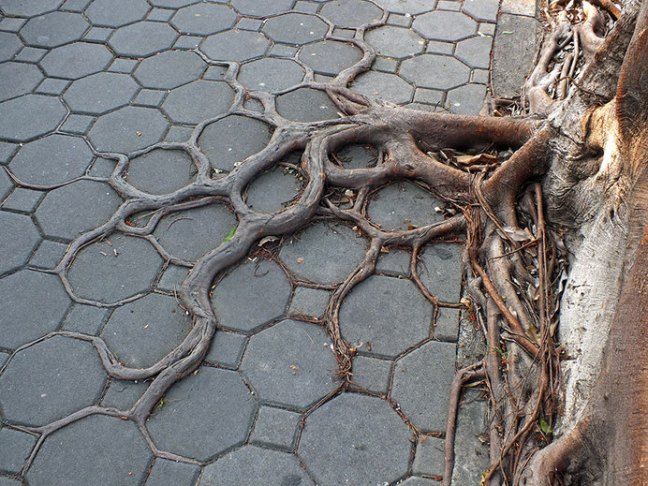tree-roots-concrete-pavement