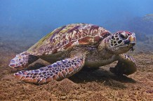 Green-Sea-Turtle-Grazing-in-the-Shallows