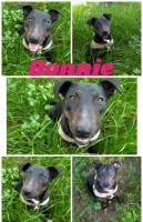 BULL TERRIER, METICCIO Bonnie bellissima simil Bull Terrier cerca casa con urgenza!