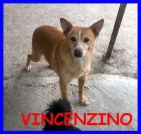 PINSCHER Vincenzino simil pincherino