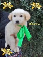 METICCIO MUGHETTO: un cucciolo che ti catturerà!