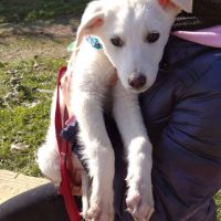 GOLDEN RETRIEVER, METICCIO Mabel stupenda cucciola 4 mesi mix golden in adozione